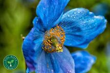 100 seeds of Blue Poppy - PAPAVER - Plus GIFT 5 seeds of Sunflower