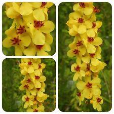 Dunkle Königskerze Verbascum nigrum Bauerngartenstaude Bienenweide