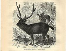 Stampa antica CERVO SAMBAR INDIANO Rusa unicolor DEER 1891 Old antique print