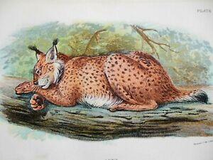 Lynx, Big Cat; Original c1890s Chromolithograph, Lloyd's Natural History Print