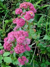 10 EMPEROR'S WAVE SEDUM Red Upright Telephium Succulent Flower Rock Garden Seeds