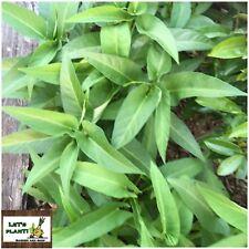 WATER SPINACH /KANGKONG-60 seeds (Organically Grown)