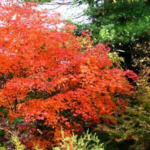 Acer palmatum Atropurpureum ORANGE dream Fächer Ahorn 1236761