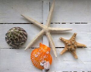Assorted Mixed Seashells Set of 4 Knobbly Pointer Starfish  Scallop Barnacle