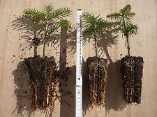 25 Nordmanntannen Nordmanntanne Christbaumpflanzen Jungpflanzen Turbostarter