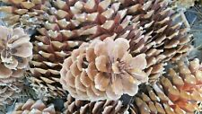 4 Sugar Pine Cones 8-10 inch Forest Friendly Holiday Nature Decor