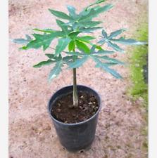 20 Pcs Seeds Bonsai Dwarf Papaya Tr Hovey Carica Miniature Tree Free Shipping S