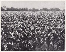D4804 Campo di tabacco Erzegovina nel salento - Stampa d'epoca - 1935 old print