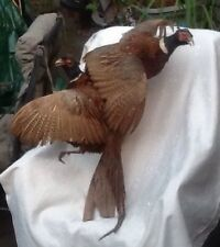 Flying Fighting Ringneck Pheasant Pair Taxidermy Bird Mount