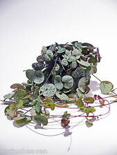 CEROPEGIA WOODII - String of Hearts, 8cm wide pot. 30-40cm vines