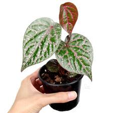 Piper Crocatum - Celebes Pepper - Ornamental Indoor Houseplant Climbing