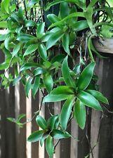 Inch Plant, Basket Plant, Chain Plant (3+plants)