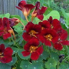 Nasturtium Black Velvet Tom Thumb Tropaeolum majus 25 Seed