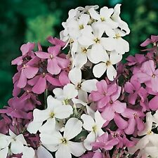 SWEET ROCKET SEEDS HESPERIS MATRONALIS SEED POT PATIO GARDEN FLOWER 600 SEEDS