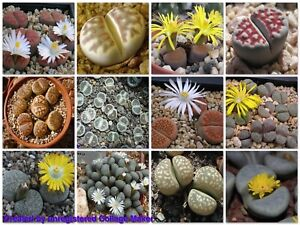LIVING STONES (Lithops mixed species) 20 seeds