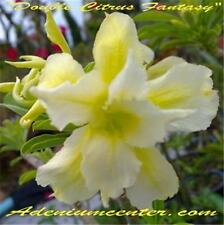 "ADENIUM OBESUM DESERT ROSE "" DOUBLE CITRUS FANTASY "" 100 seeds  NEW Recommended"