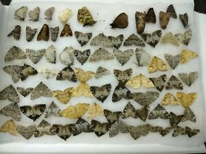 79 Geometridae Noctuidae moths from Northern Ural, Russia, cottoned
