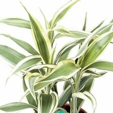 Dragon Blood Tree Dracaena Sanderiana 10 PCS Evergreen perennial Plants Flower