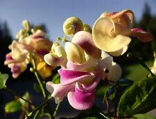 Corkscrew Vine or Snail Vine | Vigna caracalla | Sweet Fragrance | 8 Seeds