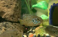 "New listing Red Jewel Cichlid 1 1/2"" - 2 1/2"" - Live Fish - Guaranteed"