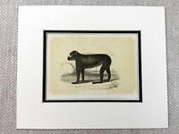 1853 Antique Imprimé Barbarie Ape Macaque Singe Primate Original Victorien Art