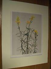 Vintage 1921 Botanical Wildflower Art Print Matted - Butter & Eggs; Ramstead