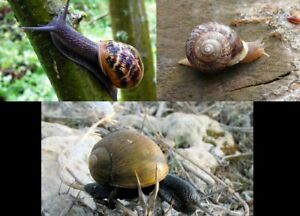 6 HELIX SNAILS, 2 ASPERSA+ 2 VERMICULATA+ 2 APERTA, ALIVE, ADULTS, PERFECT PETS