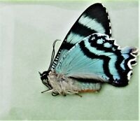 Very Rare Agavus Cattleheart Butterfly Parides agavus Male Folded FAST FROM USA