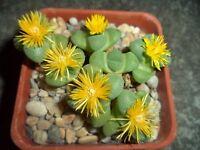 Stomatium suaveolens 10 seeds Rare Cactus Succulent Garden Plant Gift Flower