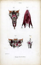 Antique Print-MEDICAL-MUSCLES OF THE LARYNX-Masse-1843