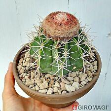 ariocarpus astrophytum variegated 15 Melocactus matanzanus variegata seeds
