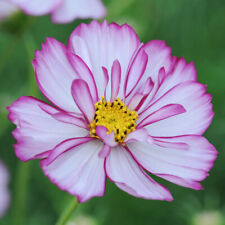 Seeds Cosmos Kosmeya Picote Flower Annual Outdoor Garden Cut Organic Ukraine
