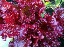 Ruby Red Loose leaf Lettuce 500 - 80,000 SEEDS Heirloom crispy Beautiful Rare