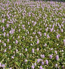 Water Hyacinth Floating Adults 20 Plants Koi Pond Live Fish Aquatic Filtration