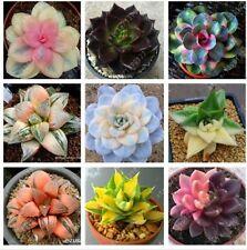 100 pcs/bag Real rare succulent seeds, perennial angiosperm plants flower seeds