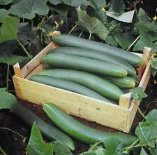 Organic - Vegetable - Cucumber Tanja - 5 Seeds - Economy Pack
