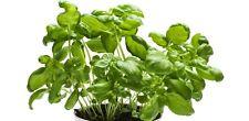 Semillas Albahaca aromatica condimento 700 aprox. Ocinum basilicum