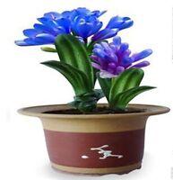 Blue Color Beautiful Clivia Seeds Bonsai Garden Flower Decorative Flowers Rare
