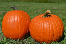 10 SEEDS BIO of Pumpkin / pumpkin Big Max / Ideal for Halloween