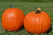 5 SEMILLAS de Calabaza / Big Max / Perfecto para Halloween / 30-50 kilos