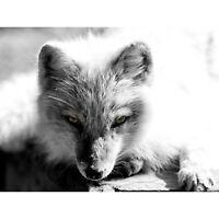 ANIMAL PHOTO HEAD ARCTIC FOX BW 12 X 16 INCH ART PRINT POSTER PICTURE HP2088