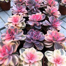 Echeveria cv. Rainbow  / escobaria AZTEKIUM stenogonia