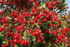 Crataegus Laevigata, Hawthorn Berry Seeds, 10 seeds