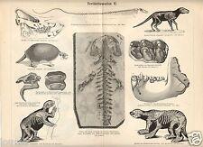 1885= PREISTORIA= FOSSILI DEL TERZIARIO= Stampa Antica = Old Engraving