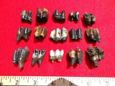 *Bulk Price* Camel & Llama Teeth Florida Fossils Fossil Tooth Jaw Bone Bones Fl