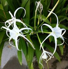 SPIDER LILY Hemerocallis speciosa scented white flowers plant in 140mm pot