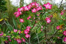 exotische Blüten Rarität Saatgut seltene Garten Balkon Pflanze Wüstenrose