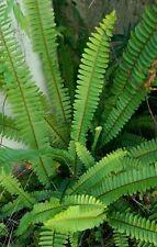 3 Boston Fern Plants Indoor/Outdoor Landscape/House Plant Shade Loving