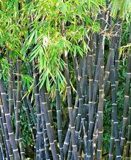 25 PURPLE TIMOR BAMBOO SEEDS - Phyllostachys Nigra
