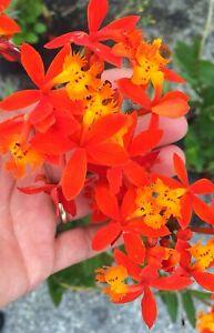 "Epidendrum Radicans Orange Reed Orchid 10+"" Tall"